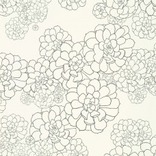 Aeonium - Clean White
