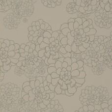 Aeonium - Cotton